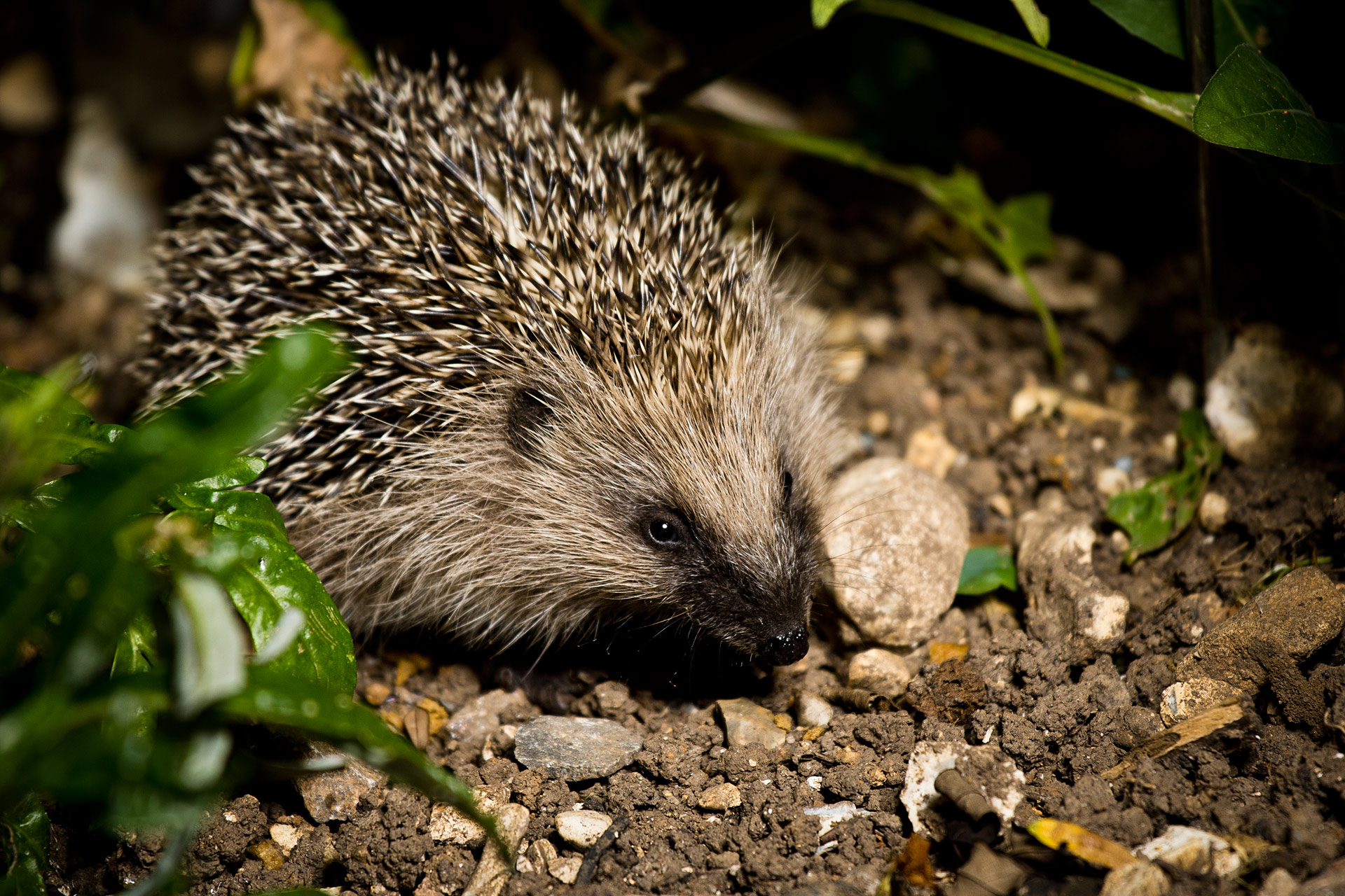 Hedgehog by flash